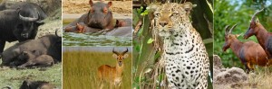 What you will see during a game drive at Queen elizabeth National Park