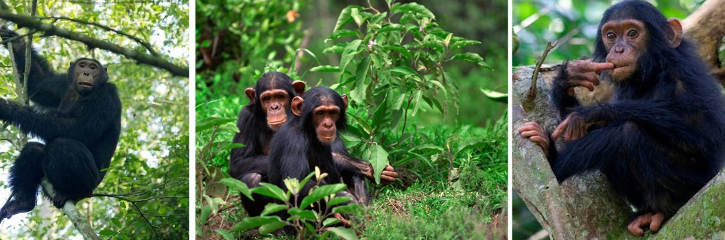 kyambura gorge chimps