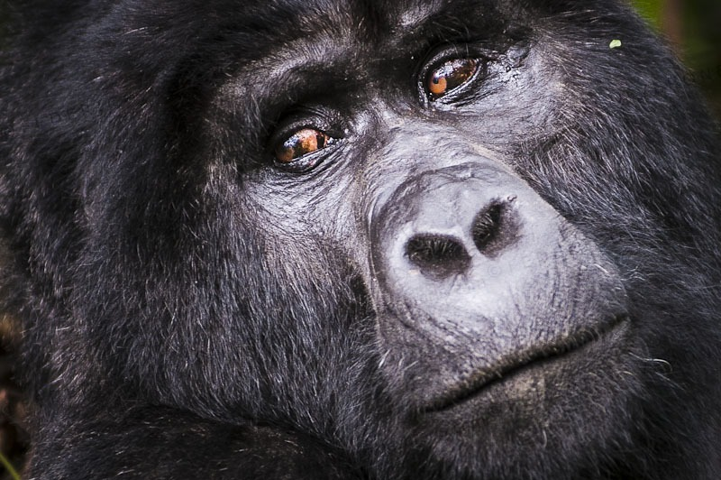 5 Days gorilla safari in Volcanoes National Park