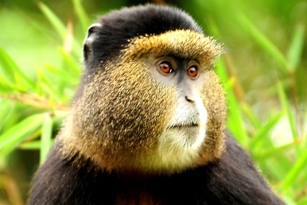 6 Days Gorilla Safari Rwanda, Chimpanzee trekking & Colobus Monkeys tracking