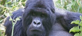 5 Days Gorilla & Chimpanzee Tracking Safari in Rwanda