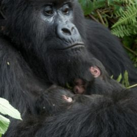 Gorilla Families in Rwanda's Volcanoes National Park