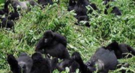 Can a gorilla raise a human child?-Rwanda safari news