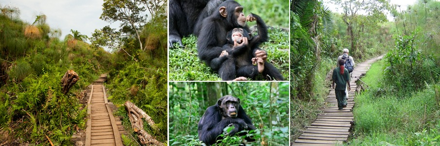 bigodi-wetland-chimps