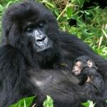bwindis-gorilla-trekkin
