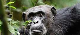 chimp-safaris-kibale
