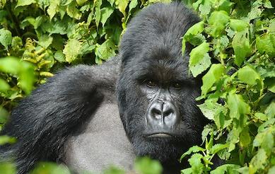 12 Days Rwanda Gorilla Trekking Tour