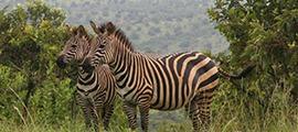 uganda-rwanda-safari6