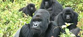 8 Days Gorilla Trekking Safari in Rwanda & Uganda.