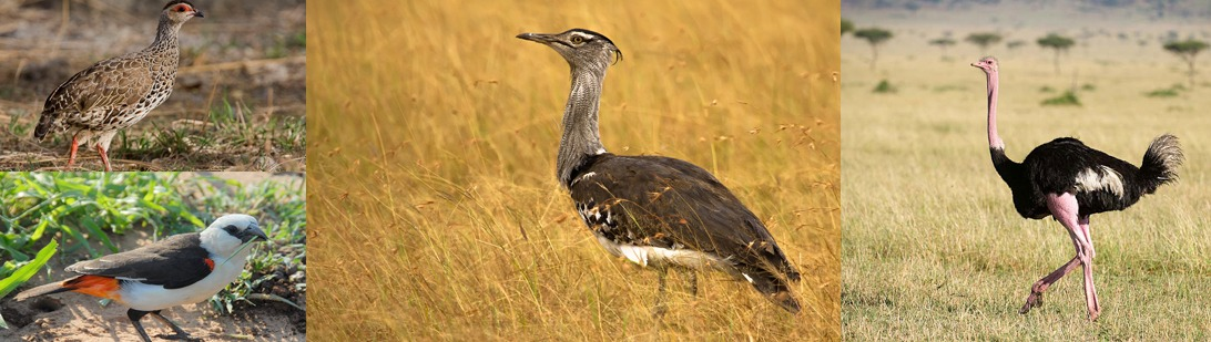 birding-kidepo