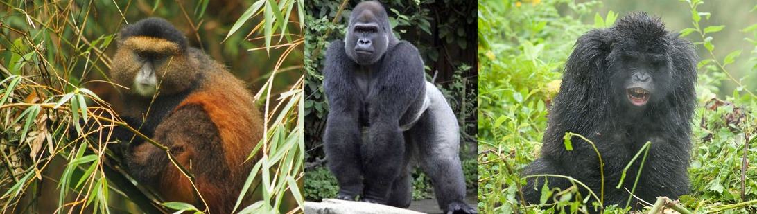 golden-monkey-gorillas-mgahinga