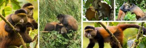 golden monkey trekking