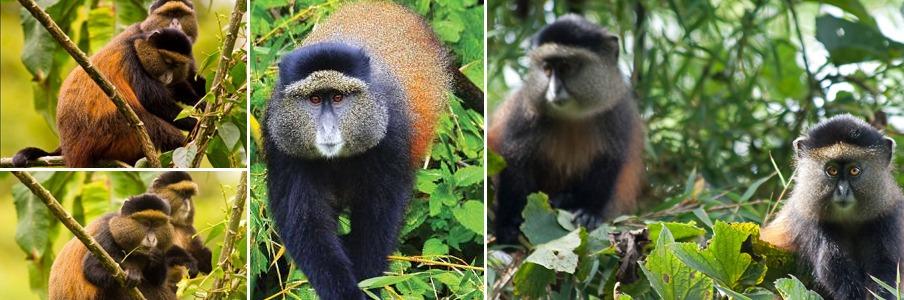 golden-monkeys-trekking-rwanda