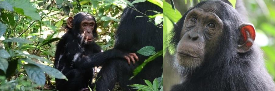 kibale-chimps