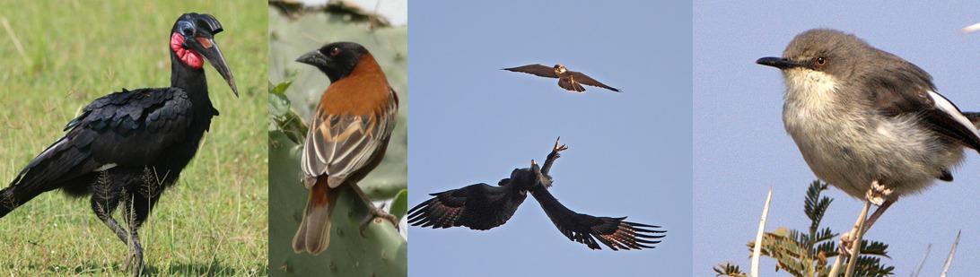 kidepo-birds