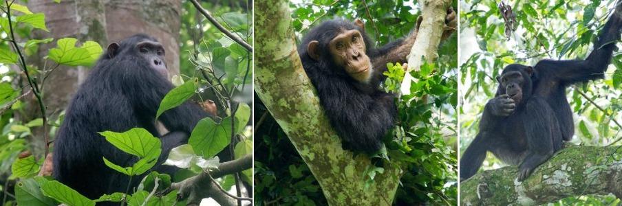 kyambura gorge chimps