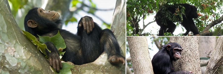 nyungwe-chimp-trekking