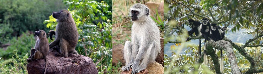 primates-bwindi