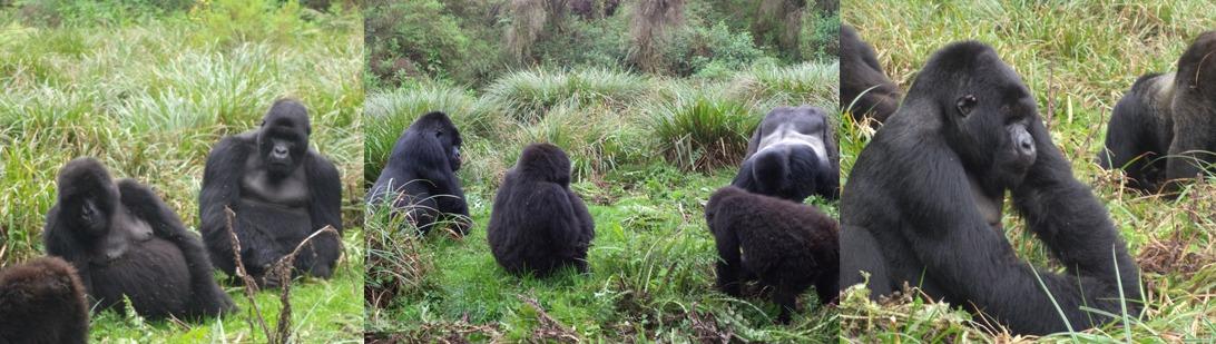 rwanda-gorilla-families