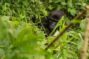 16 Days Uganda Gorilla Trekking, Chimpanzees, Wildlife, Culture and Scenic Safari