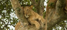 3 Days Uganda Wildlife Safari to Queen Elizabeth National Park