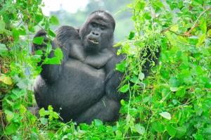 2 Days Gorilla Trekking Safari in Rwanda