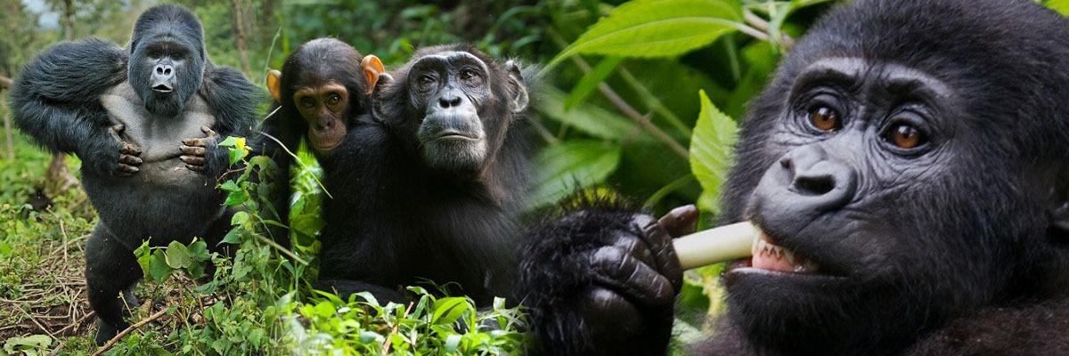 gorilla chimpazee trekking