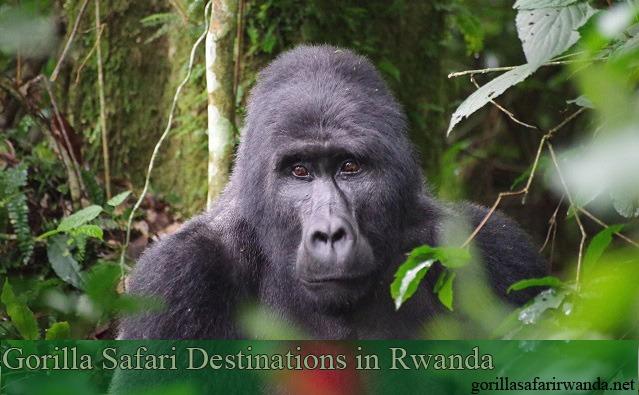 gorilla bwindi rwanda