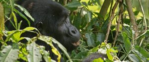 3 Days Uganda Gorilla Safari tour to Mgahinga