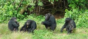 rwanda safaris Chimpanzee