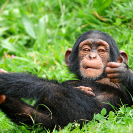 Very fast paced and exciting adventure with Chimps