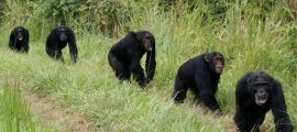 3 days Chimpanzee Tracking Safari in Uganda