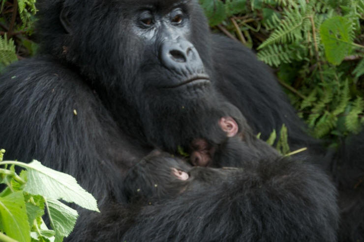 3 days Bwindi Gorilla Safari in Uganda