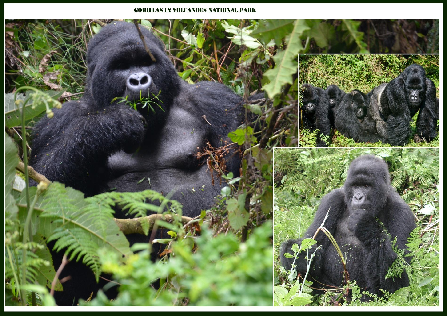 Gorilla families in Rwanda