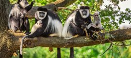 Colobus Monkey Tracking Nyungwe Forest National Park