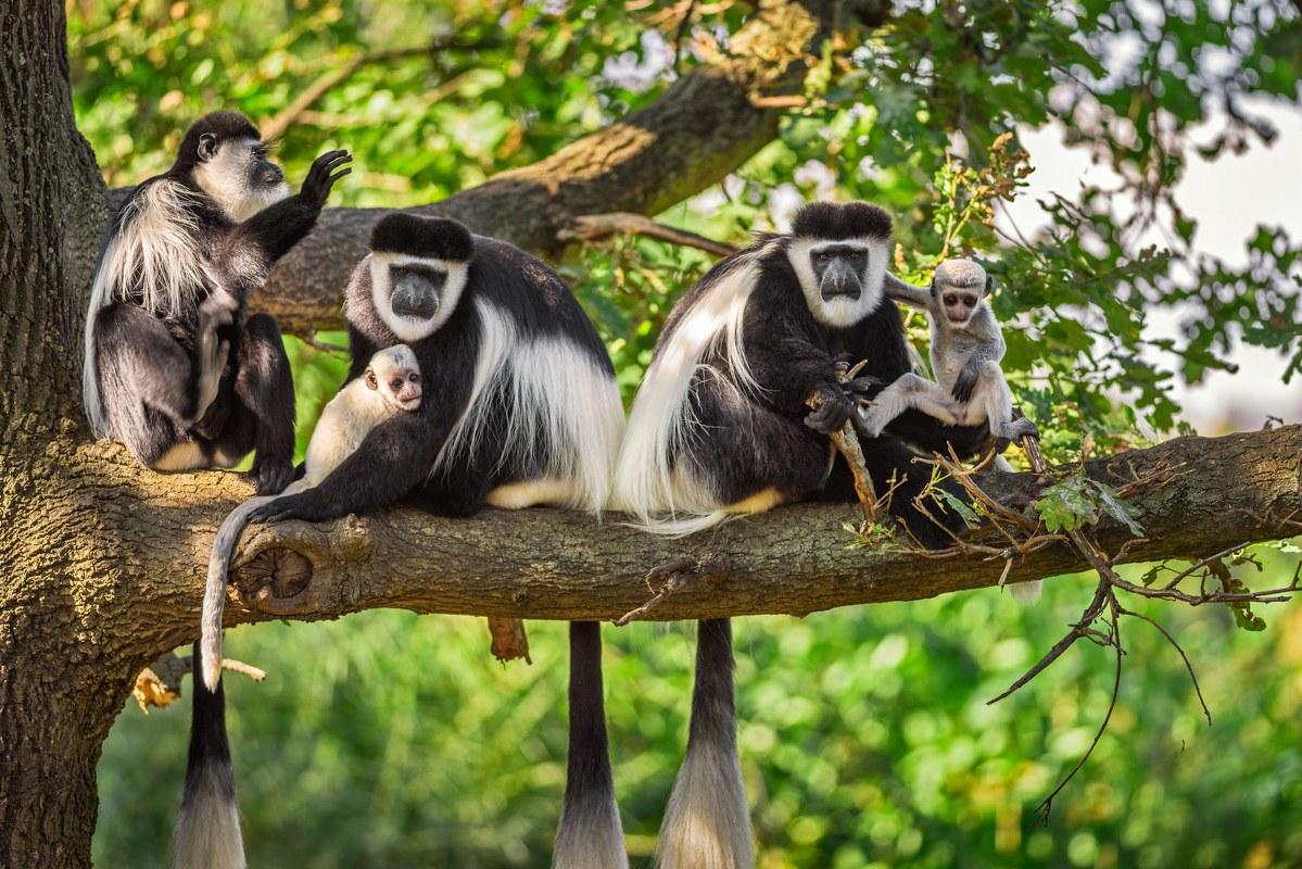 Colobus Monkey Tracking Nyungwe Forest National Park