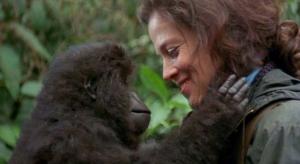 mountain gorillas not critically endangered anymore.