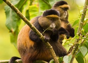 Golden monkeys at volcanoes National Park