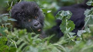 What you need to know about Mountain Gorillas