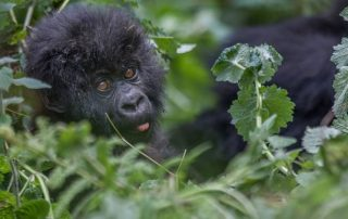 Mountain Gorilla Facts-Rwanda Safari News