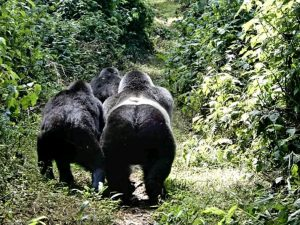 Why You Need to Book Your Gorilla Trekking Permit Early- Rwanda Safari <a href=