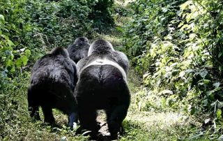 Why You Need to Book Your Gorilla Trekking Permit Early- Rwanda Safari News